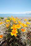 California Poppies, Lake Taupo, New Zealand