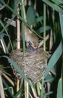 Kuckuck, Küken im Nest eines Teichrohrsänger, Teichrohrsänger füttert das mittlerweile größere Küken, Brutparasitismus, Cuculus canorus, Cucullus canorus, cuckoo