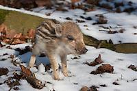 Wildschwein, Wild-Schwein, Schwarzwild, Schwarz-Wild, junger Frischling im Winter bei Schnee, Junges, Jungtier, Tierkind, Tierbaby, Tierbabies, Schwein, Sus scrofa, wild boar, pig
