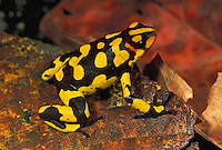 Harlequin Poison Frog (Dendrobates histrionicus), adult, Farallones de Cali, Colombia