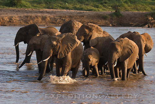 A herd of African elephants crossing the Uaso Nyiro River between Samburu and Buffalo Springs National Reserves in Kenya.