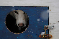 A Mackenzie Davis dogs sits in its dog box at the start of the 2009 Junior Iditarod on Knik Lake on Saturday Februrary 28, 2009.