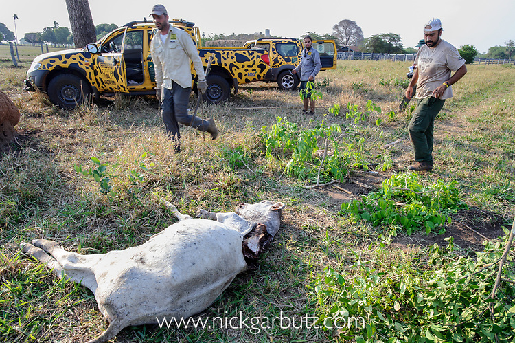 An old and weakened cow, killed by a female jaguar (Panthera onca palustris). Project Oncafari vet begins setting a trap to catch the jaguar with the intention of fitting a radio collar. Caiman Lodge, Oncafari Project, southern Pantanal, Mato Grosso do Sul, Brazil.