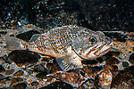 Blackbelly Rosefish full body view facing right