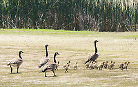 Canada Geese and goslings, Branta canadensis, at Sacramento National Wildlife Refuge, California