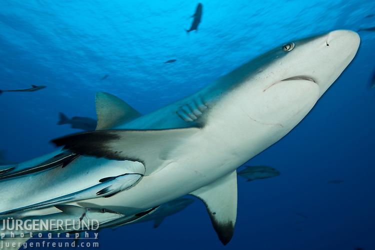 Grey reef sharks (Carcharhinus amblyrhynchos) in the Coral Sea