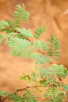 Gum Arabic.  Acacia Senegal Leaves, Niger, West Africa.