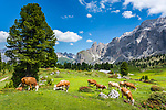 Italy, South Tyrol (Trentino - Alto Adige), Dolomites, near Selva di Val Gardena: cattle at alpine pasture with Sella Group at Sella Pass Road in background | Italien, Suedtirol (Trentino - Alto Adige), oberhalb von Wolkenstein in Groeden: Almwiese mit Kuehen vor der Sellagruppe an der Sella-Joch-Passstrasse