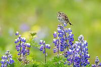 Savannah sparrow perched on lupine blossoms, Katmai National Park, Alaska Peninsula, southwest Alaska.