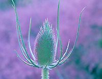 Common teasel (dispacus sylvestris) with dew and purple grass. Banks of North Powder River, Oregon.