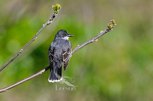 Eastern Kingbird (Tyrannus tyrannus) in Great Lakes region. May.