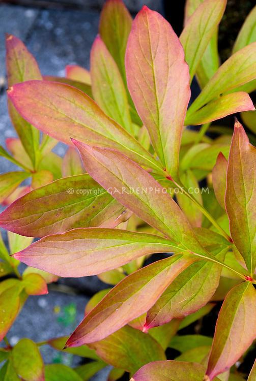 Paeonia lactiflora 'Sarah Berhardt' in fall foliage color peony
