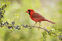 northern cardinal, Cardinalis cardinalis, adult male eating Elbow bush berries, Forestiera pubescens, Hill Country, Texas, USA, North America