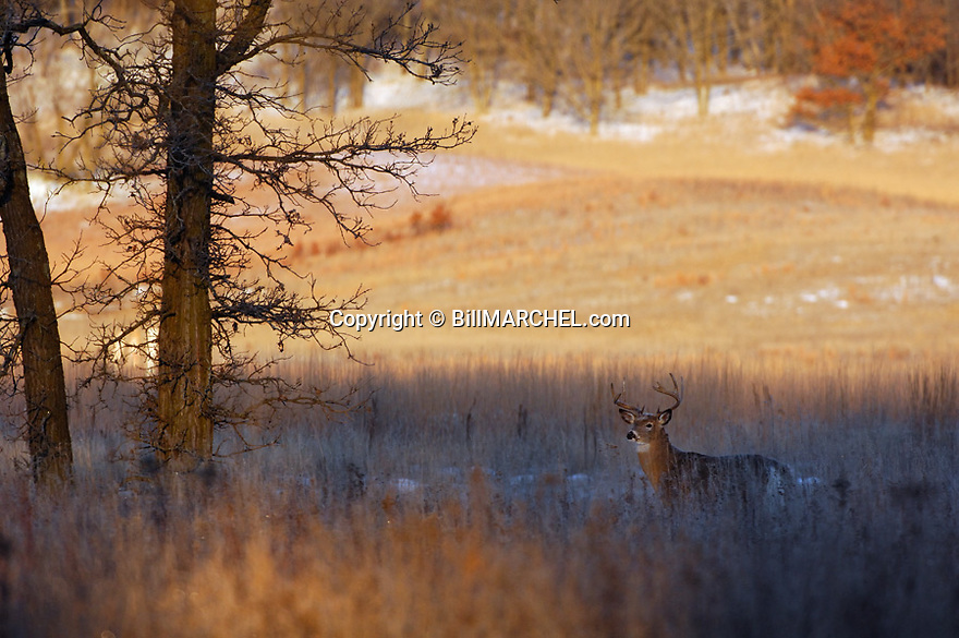 00274-307.14 White-tailed Deer Buck (DIGITAL) with large antlers is on edge of large meadow during fall.  Hunt, hunting, rut, snow.  H2L1