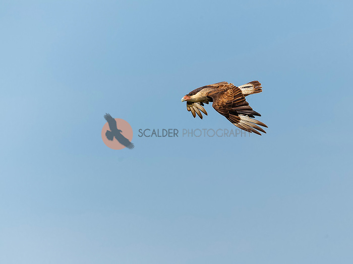 Crested Caracara in flight against a blue sky, with wings in downstroke