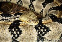 0601-0906  Timber Rattlesnake (Canebrake Rattlesnake), Crotalus horridus  © David Kuhn/Dwight Kuhn Photography