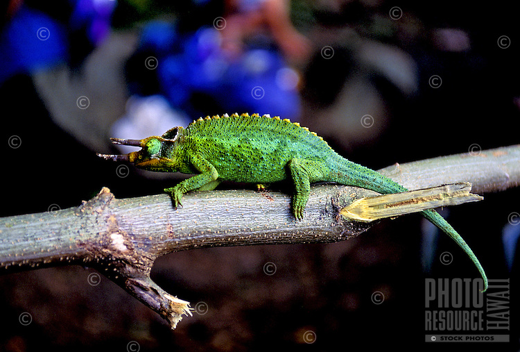 A vivid green Jackson chameleon perches on a tree branch. Muted blue and brown background.