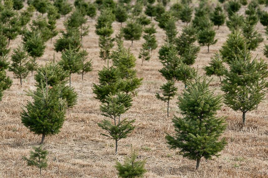 Young saplings at a Christmas tree farm, New Jersey, USA