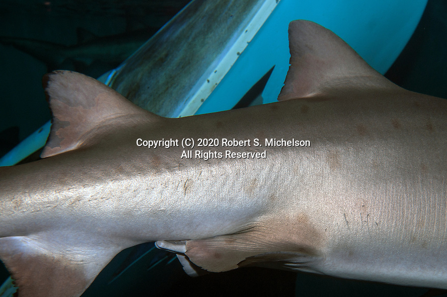 Sand tiger shar showing first and second dorsal fins.  This fetaure helps to identify this shark from others in the Worlds ocens.  This shark is on display at the Mystic Aquarium in Connecticut.