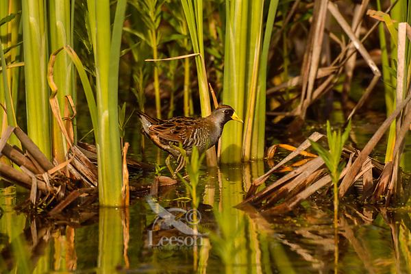 Sora or Sora Rail (Porzana carolina) among cattail stalks. Klamath Marsh National Wildlife Refuge, Oregon.