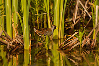 Sora or Sora Rail (Porzana carolina) among cattail stalks. Klamath Marsh National Wildlife Refuge, Oregon.