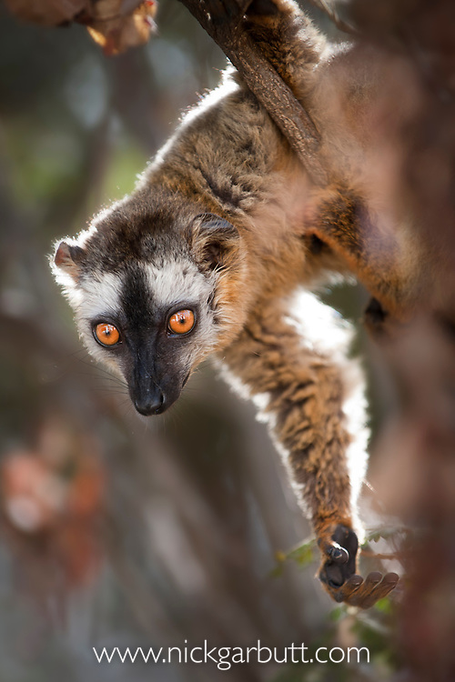 Female Red-fronted Brown Lemur (Eulemur rufus). Dry forests, Kirindy, western Madagascar.