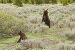 Grizzly bear no. 399 stands amongst the sagebrush to survey the surrounding area while one of her cubs sits nearby. Grand Teton National Park, Wyoming