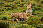 Mountain Lion (Puma concolor) dominant female chasing submissive female off her Guanaco (Lama guanicoe) kill, Torres del Paine National Park, Patagonia, Chile