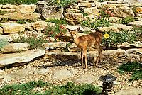 White tailed deer in rock garden, MIssouri USA