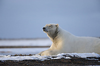 A polar bear rests along shoreline on a barrier island outside Kaktovik, Alaska. Every fall, polar bears gather near the community, on the northern edge of ANWR, waiting for the Arctic Ocean to freeze. The bears have become a symbol of global warming.