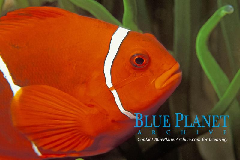 spine-cheek anemonefish, Premnas biaculeatus, PNG