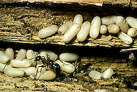 AN04-004z  Ant - with pupa cocoons in wood