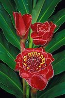 Red tulip torch ginger (nicolaia hemisphaerica)