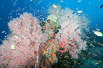 Misool, Raja Ampat, Indonesia; Sagof area, an aggregation of Yellowtail, Regal and Coral Demoiselle fish, along with Philippines Chromis swimming above large, pink gorgonian soft corals