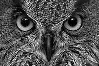 Bubo bubo<br /> <br /> Eagle owl mask.