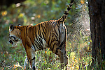 Female Bengal Tiger (Panthera tigris tigris) (Durga) spray marking tree. Bandhavgarh National Park, India.