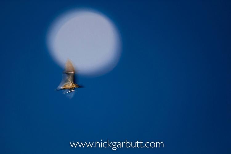 Straw-coloured Fruit Bat (Eidolon helvum) flying infront of the moon at dusk. Kasanka National Park, Zambia.