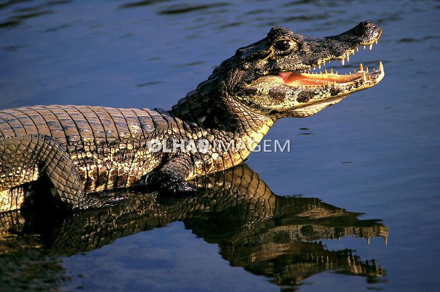 Animais. Reptis. Jacarés (Caiman crocodylus yacare). Pantanal. MS. Foto de Ricardo Azoury.