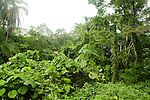 Tropical rainforest in swamp, Bigodi Wetland Sanctuary, Magombe Swamp, western Uganda