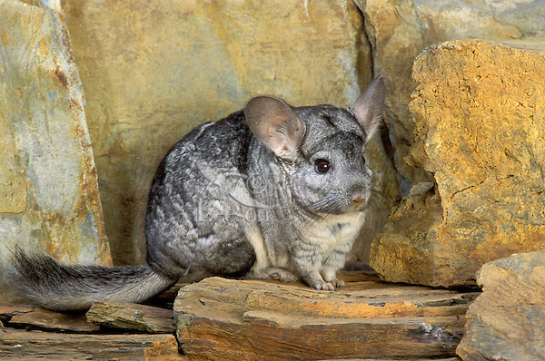 Chinchilla/Long-tailed Chinchilla (Chinchilla lanigera) has the highest fur density of any land animal. Range: southern Andes Mountains in Chile. Popular as pets. Controlled situation.