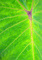 A close-up of a kalo (or taro) leaf with light shining though, Big Island.