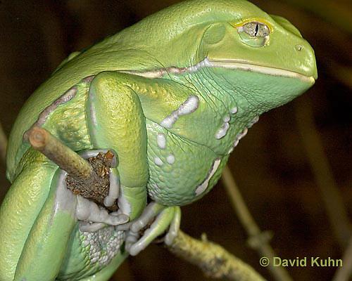"1217-07oo  Waxy Monkey Leaf Frog - Phyllomedusa sauvagii ""Central and South America"" - © David Kuhn/Dwight Kuhn Photography."