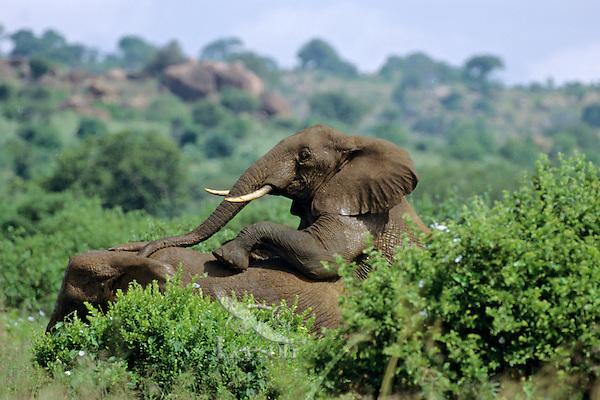 African Elephants (Loxodonta africana).