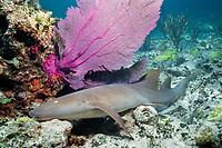 nurse shark, Ginglymostoma cirratum, rests near sea fans, Bahamas, Caribbean Sea, Atlantic Ocean