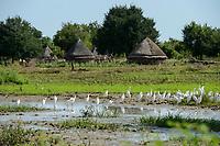 ETHIOPIA, Gambela, region Itang, Nuer village Pilual, white herons on field / AETHIOPIEN, Gambela, Region Itang, Dorf Pilual der Ethnie NUER, Reiher auf einem Feld
