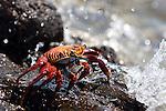 Las Bachas Beach, Santa Cruz Island, Galapagos, Ecuador; a Sally Lightfoot Crab (Grapsus grapsus) on the volcanic rocks at the shore by the water's edge , Copyright © Matthew Meier, matthewmeierphoto.com All Rights Reserved
