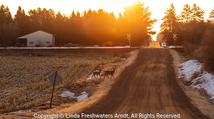White-tailed deer crossing a rural road in northern Wisconsin.