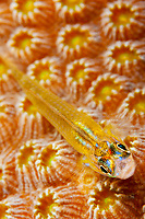 peppermint goby, Coryphopterus lipernes, on hard coral polyps, Bonaire, Netherlands, Caribbean Sea, Atlantic Ocean