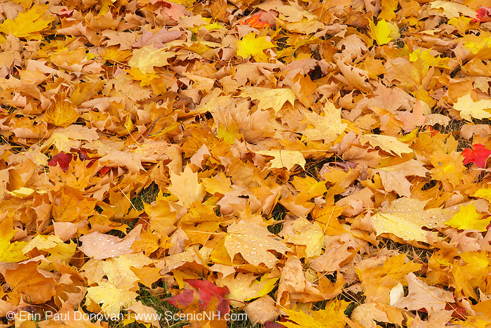 Maple leafs in the forest during the autumn months in scenic New Hampshire USA.