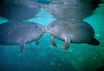 West Indian Manatees, Homosassa Springs Wildlife State Park, Florida